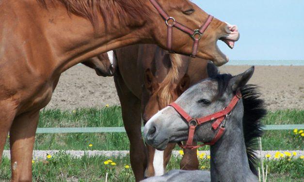 Tutkimus: Nuoret hevoset ja ihmisen kehonkieli